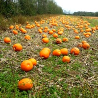 A Walk through the Orchard and Pumpkin Patch at Ballycross Apple Farm