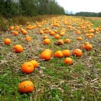 A Walk through the Orchard and Pumpkin Patch at Ballycross Apple Farm