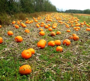Pumpkin patch (Image: Sinead Fox)