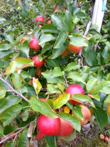 Trees laden with apples (Image: Sinead Fox)